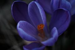 a star is born (christophe.laigle) Tags: christophelaigle fleur mauve crocus nature flower fuji xpro2 xf60mm macro