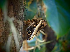 Bananenfalter (1elf12) Tags: bremen butterfly schmetterling insect insekt botanika mendehaus germany deutschland