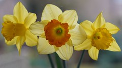 trumpeting (quietpurplehaze07) Tags: ღღentreamigosღღproyecto365días smileonsaturday threesame daffodils trumpets garden yellow orange sundaylights backlit contrejour contraluz