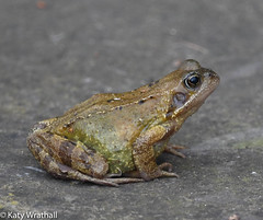 Get my good side (Katy Wrathall) Tags: pond wildlidfe spring england march eastyorkshire ranatemporaria amphibian 36561 commonfrog 2019pad 2019 garden eastriding