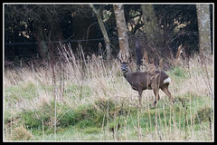 IMG_0012 Roe Deer Buck (Scotchjohnnie) Tags: roedeer capreoluscapreolus deer roebuck buck male mammal wildlife wildlifephotography wildandfree wildanimal nature naturephotography canon canoneos canon7dmkii canonef100400f4556lisiiusm scotchjohnnie