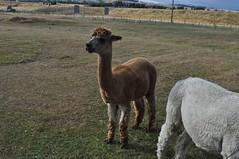 ALPACAS - Alpaga Nouvelle Zelande 2019 (9) (hube.marc) Tags: alpacas alpaga nouvelle zelande 2019 vicugna pacos