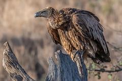 Vulture on Lookout (helenehoffman) Tags: bird vulture kenya aves africa animal gypsafricanus conservationstatuscriticallyendangered scavenger whitebackedvulture lewawildlifeconservancy