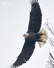 RSF0960 (jacksonfrontierphotography) Tags: bald eagle