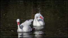 _SG_2019_03_0007_IMG_4486 (_SG_) Tags: ente enten duck ducks family familie