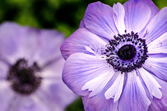 Two Anemone 3-0 F LR 2-24-19 J239 (sunspotimages) Tags: flower flowers anemone anemones nature purple purpleflower purpleflowers purpleanemone purpleanemones