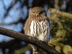 Northern Pygmy-owl - from the archives (annkelliott) Tags: calgary alberta canada fishcreekpark nature ornithology avian bird birds owl northernpygmyowl glaucidiumgnoma birdofprey perched branch tree forest popcansized fistsized frontview bokeh outdoor winter 14january2015 fz200 panasonic lumix annkelliott anneelliott ©anneelliott2015 ©allrightsreserved