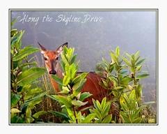 Out of the fog (cscott_va.) Tags: deer virginia wildlife skyline drive shenandoah national park