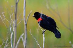 Red-Winged_Black_Bird_01 (DonBantumPhotography.com) Tags: wildlife nature birds animals redwingedblackbird donbantumphotographycom donbantumcom