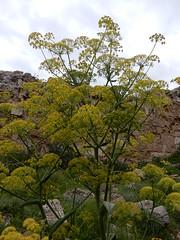 Salamis archeological site: fennel (John Steedman) Tags: salamis archeologicalsite cyprus kibris zypern κύπροσ northcyprus northerncyprus turkishrepublicofnortherncyprus kuzeykıbrıstürkcumhuriyet fennel fenchel fenouille