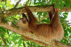 Bébé Paresseux..Sloth.Costa Rica (geolis06) Tags: geolis06 amérique america costa rica nature choloepushoffmanni paresseux unaudhoffmann sloth