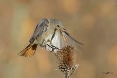 Codirosso spazzacamino female (mauro.santucci) Tags: codirossospazzacaminofemmina female passeriforme uccelli uccello bird avifauna natura birdwatching wildlife wild
