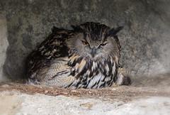Owl (JLM62380) Tags: owl hibou camargue oiseau bird rapacious rapace