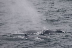 Mother and Calf Fin Whale surfacing close to the boat (Paul Cottis) Tags: southatlantic southernocean sea whale cetacean marine mammal young juvenille paulcottis 30 january 2019 jan swim swimming dive surface blow fin baleen rorqual