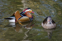 Mandarins (Stephen Reed) Tags: mandarinduck birds water pond richmondpark london nikon d7000 lightroomcc naturesfinest