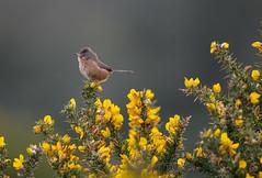 Dartford Warbler -8503156 (seandarcy2) Tags: birds wild wildlife west highdown iow handheld coast cliffs dartford warbler