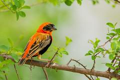 Southern Red Bishop (rene.de.vries) Tags: ugandaqenpqueenelisabethafricaafrika uganda d7100 oeganda tamron tamron150600 150600 600mm nikon safari afrika africa red bishop bird birding wildlife nature travel