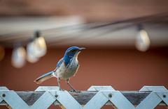 Scrub Jay (Josh Patterson Photo) Tags: jay scrubjay bird animals avian blue