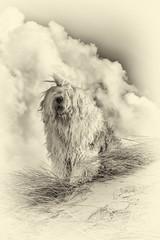 Sophie (dewollewei) Tags: oldenglishsheepdog oldenglishsheepdogs old english sheepdog sheepdogs dewollewei sophieandsarah sophie sepia sea beach texel wadden clouds mono monochrome love hair blackandwhite black white dogs dog