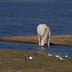 éco-paturâge au platier d'Oye (F62) (pierre.pruvot2) Tags: france pasdecalais oyeplage platierdoye panasonic lumix leica mammifère cheval horse eau water