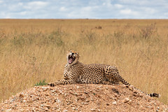 What Nice Teeth You Have! (Jill Clardy) Tags: africa tanzania vantagetravel safari 201902249l8a1080 serengeti national park game drive cheetah male yawn teeth yawning sitting reclining wild animal mammal cat big