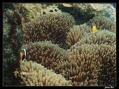 Baie des Citrons 31.03.2019 (CurLy98800) Tags: plage noumea nouvelle caledonie new caledonia baie des citrons underwater snorkeling diving sous marine amphiprion akindynos poisson clown
