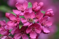 DSC_1336_Honeybee on plum blossom #1 (sdttds) Tags: bee honeybee apismellifera insect hymenoptera tree blossom plum pink green beauty davis northdavis greenbelt