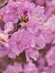 rosa Frühling (lebastian) Tags: panasonic dmcgx8 olympus m60mm f28 macro makro blüten blossom rosa frühling spring