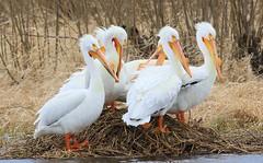 American white pelicans at Cardinal Marsh IA 653A8296 (naturalist@winneshiekwild.com) Tags: american white pelicans cardinal marsh winneshiek county iowa larry reis