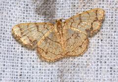 ecosystem/fauna/Geometrid Moth(Heterostegane subtessellata) (biodiversity western ghats(before it is gone)) Tags: taxonomy:binomial=heterosteganesubtessellata geometridae ennominae cassymini diversityindia indianmoths