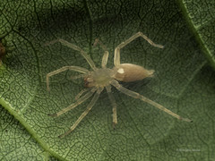 Famille Clubionidae (Répertoire des insectes du Québec) Tags: arachnida arachnide araignée spider insecte insect quebec macro