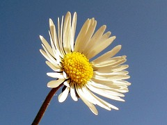 Daisy (billnbenj) Tags: barrow cumbria walneyisland springflower daisy