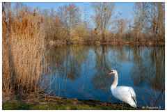 Cygne (Pascale_seg) Tags: paysage landscape river riverscape étang printemps spring primavera moselle lorraine france nikon arbres trees alberi reflets reflections riflessi cygne swan nature natura earth