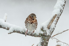 Fox Sparrow-40901.jpg (Mully410 * Images) Tags: birdwatching birding blizzard winter backyard bird birds sparrow foxsparrow snow spring birder snowing