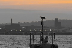 Birkenhead, England (Towner Images) Tags: towner wirral birkenhead mersey river landscape gull seagull