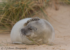 My Head Hurts (ian._harris) Tags: d750 sigma 500mm horsey seal beach december norfolk nikon sand nature wildlife animals naturephotography natur coast life flickr cute outside naturaleza
