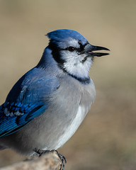 Blue Jay-45646.jpg (Mully410 * Images) Tags: jay birdwatching birding backyard bluejay birds birder bird