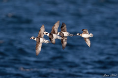 Long Tailed Duck (Simon Stobart - Stowed Off) Tags: long tailed duck clangula hyemalis flying sea scotland uk ngc coth