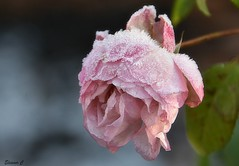 Frosted Weekend Rose (Eleanor (No multiple invites please)) Tags: flower rose pinkrose frost frostedrose busheyrosegarden bushey uk nikond7100 january2019