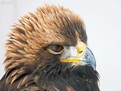 Golden Eagle head shot IMG_2580 (Jennz World) Tags: ©jennifermlivick canadianraptorconservancy vittoria ontario canada goldeneagle eagle raptor