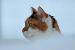 Åsta feb., 2019 (KvikneFoto) Tags: åsta katt cat snø snow vinter winter bokeh tamron nikon