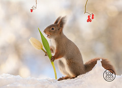 red squirrel holding a white tulip with open mouth (Geert Weggen) Tags: animal branchplantpart closeup cute horizontal hyacinth ice leaf looking mammal nature nopeople photography red rodent snow squirrel tree winter flower purple green redsquirrel rose white carnation yellow tulip bispgården jämtland sweden