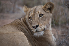 Lioness (Ben Locke.) Tags: lion lioness cat bigcat wild wildlife nature africa southafrica