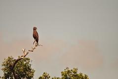 Yellow-billed Kite #1,  Milvus aegyptius (viliris) Tags: bird safari kenya wildlife tree sitting masaimaranationalreservekenya masaimaranationalparkkenya africa yellowbilledkite milvusaegyptius