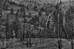 I Stood and Looked Across the Hillsides (Black & White, Custer State Park) (thor_mark ) Tags: alongroadside azimuth158 blackwhite blackhills canvas capturenx2edited cloudy colorefexpro custerstatepark grassyarea grassyfield grassymeadow greatplains hillsideoftrees hillsides hillsidesindistance hillsidesoffindistance landscape lookingsse meadows mountains mountainsindistance mountainsoffindistance nature nikond800e northamericaplains outside overcast pahásápa portfolio project365 roadsidepulloff rollinghillsides silverefexpro2 southernblackhills trees wildlifeloop wildlifelooproad wildlifeloopstatescenicbyway southdakota unitedstates