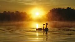 Sunrise Sweethearts Revisited (Mark Buchan Jones) Tags: daisynook countrypark failsworth manchester uk crimelake swans cygnusolor hollinwoodcanal sunrise misty morning oldham reflection ripples waves