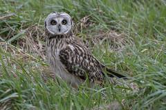 DSC_6455 (Leechy8) Tags: shortearedowl owl owls seo parkgate riverdee birdofprey bird hunting close nikon
