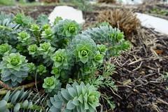 Euphorbia myrsinites @ Place de l'Abbaye @ Annecy-le-Vieux (*_*) Tags: winter hiver 2019 march afternoon europe france hautesavoie 74 annecy annecylevieux savoie