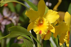 Yellow and orange Cattleya orchid (jungle mama) Tags: cattleya orchid yellow orange sun fairchildtropicalbotanicgarden fairchildgarden susanfordcollins queenoforchids natureinfocusgroup