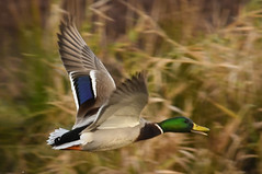 (Ian Threlkeld) Tags: pittmeadows pittmeadowsdykes alouetteriver explore explorebc naturephotography nature's ducks nature birds nikon bc irt
